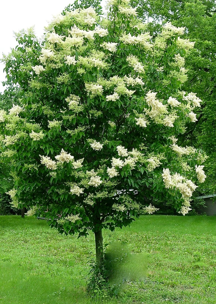 17+ best ideas about Japanese Lilac Tree on Pinterest ...