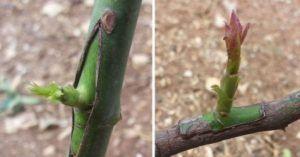Aprenda como e quando enxertar árvores de fruto