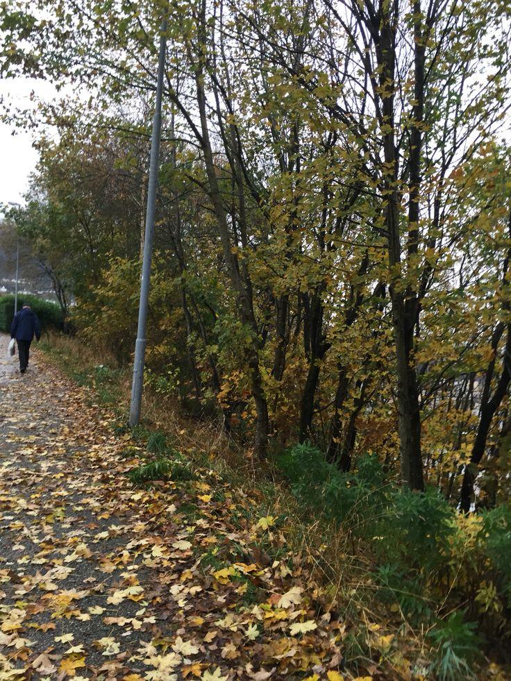 Fall leafs. Høst blader. Folhas de outono. Fyllingsdalen, Bergen, Norway.