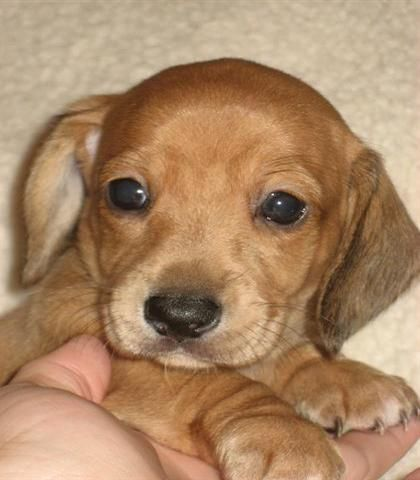 dachshund puppy #DoxieDarlin'