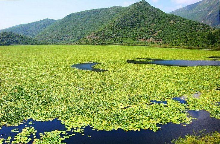 Τοπίο μοναδικής ομορφιάς! Η μεγαλύτερη σε έκταση λίμνη με νούφαρα στην Ελλάδα που.. δεν θυμίζει Ελλάδα.Επτά τύποι οικοτόπων συνυπάρχουν στο έλος Καλοδίκι.Στην περιοχή έχουν καταγραφεί 301 φυτικά είδη,120 είδη πουλιών,20 είδη θηλαστικών,11 είδη ερπετών και 5 είδη αμφιβίων.