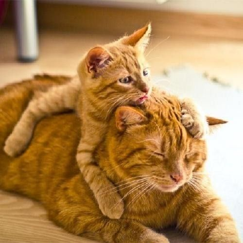Mama Orange Tabby & kitten orange Tabby. So Cute.