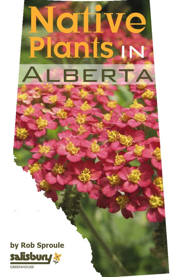 Easy to maintain, Native #Plants in #Alberta for Your Yard. By Rob Sproule, Salisbury Greenhouse