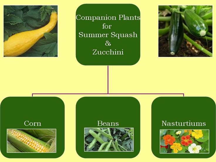 Get Your Hands Dirty: Companion Plants for Summer Squash & Zucchini