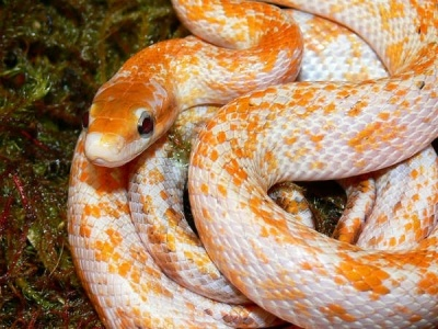 Calico Beauty Corn Snake