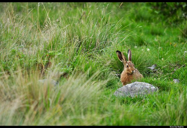 Cape Hare (Lepus capensis) in the grass by Bruno Dias | from Flickr Photo Sharing http://www.flickr.com/photos/bruno_diaz_patagonia/7959234794/