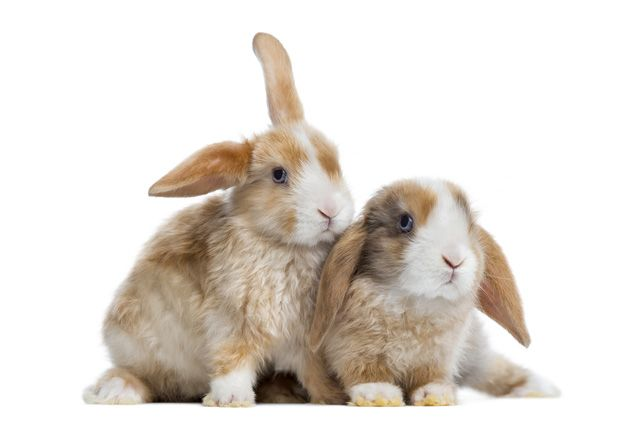 Like the standard Satin rabbit, the Mini Satin Rabbit has a beautiful coat that is desirable at shows.
