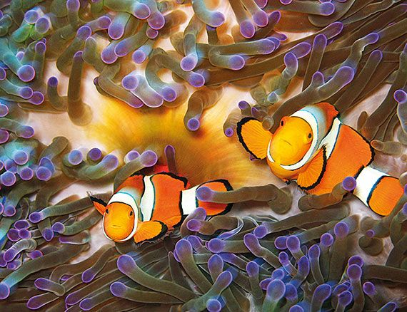 Clownfish Fact: With a reputation for clowning around, it may come as a surprise that Clownfish are actually one of the bravest fish in the ocean, come to close and they'll become aggressive. Divers beware!
