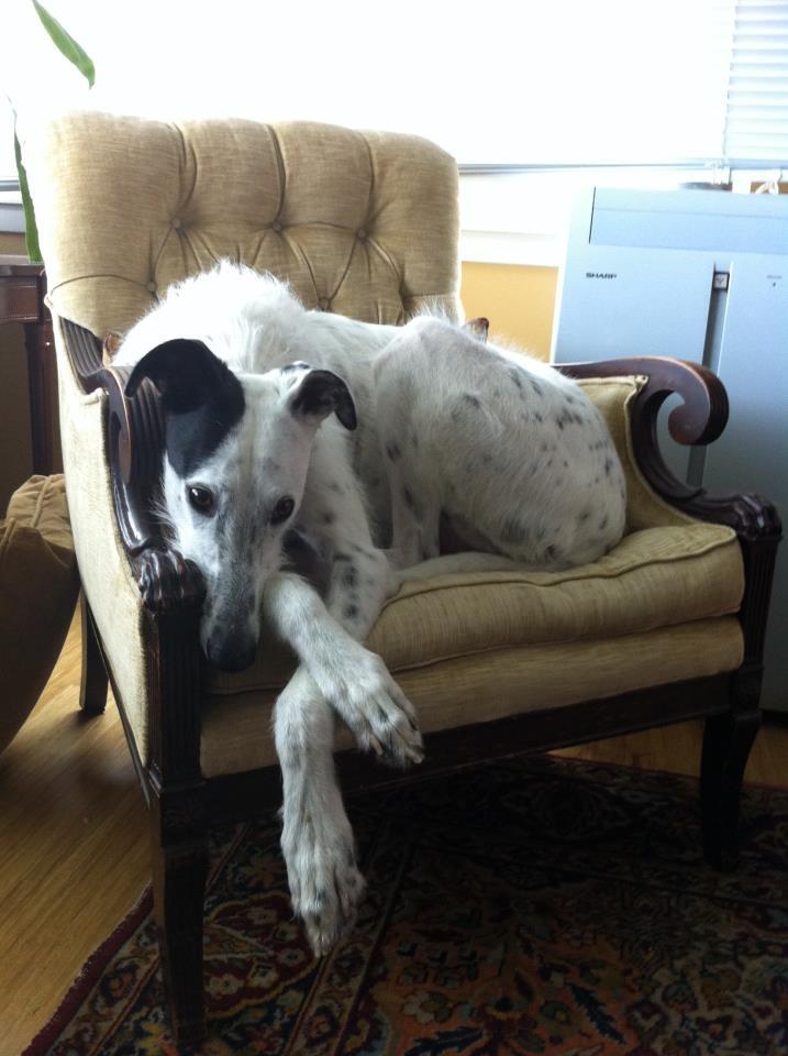 1000 images about scottish deerhound on pinterest. Black Bedroom Furniture Sets. Home Design Ideas