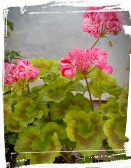 Flori duble, pestrite roz/rosu.Frunze verde/galben cu inel maron. Creste pana la 20-25cm inaltime in ghiveci.Nu necesita ingrijiri speciale. Sol bine drenat. Amplasament - la soare. Se uda cand pamantul este uscat. Ingrasamant pentru plante cu flori sau special pentru muscate. Se administreaza de primavara pana toamna. Ierneaza la temperaturi de 5-15grdC , in incaperi luminoase, aerisite.