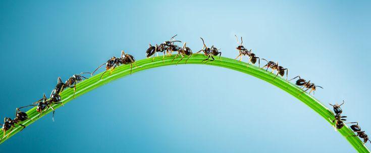 Rimedio naturale contro le formiche fai da te