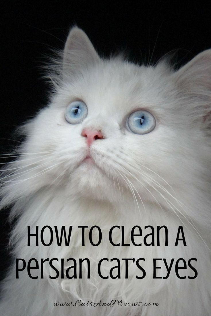 How To Clean A Persian Cat S Eyes Persian Kittens Cats Newborn Kittens