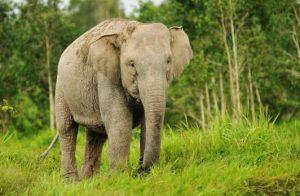 Gajah Sumatera :Binatang Langka di Indonesia