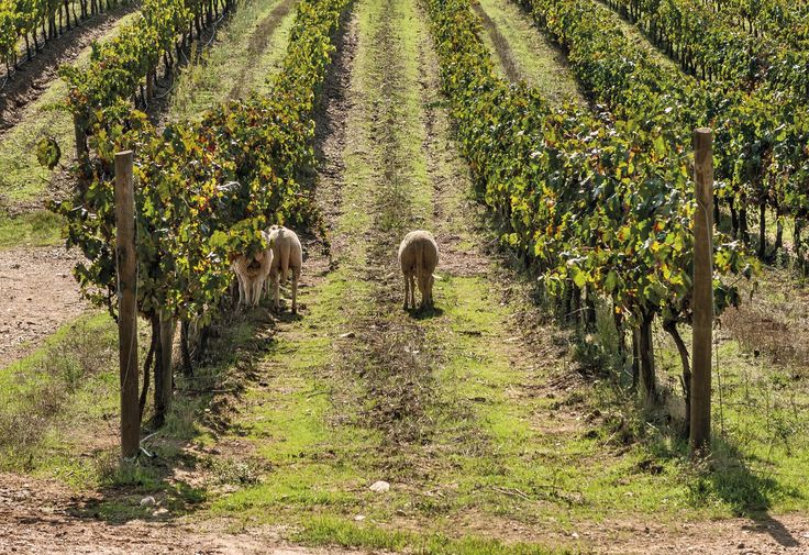 São Miguel Wines - Casa Agrícola Alexandre Relvas - Sustainable #Vineyard with sheep.  #Alentejo""