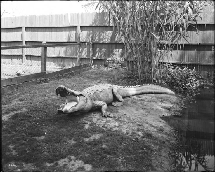 """California Historical Society Collection, 1860-1960 :: Title Insurance and Trust, and C.C. Pierce Photography Collection, 1860-1960 :: """"Okeechobee"""" in its pen at The California Alligator farm in Los Angeles, California, ca.1900"""
