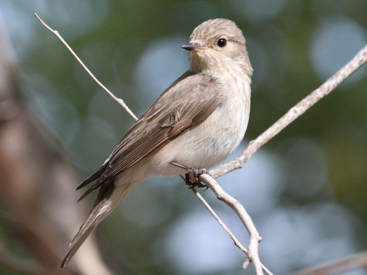 Spotted Flycatcher (Muscicapa striata) by Jerry_Gunner