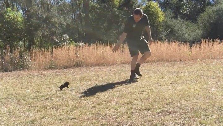 Il emmène un bébé diable de Tasmanie pour la première fois à l'extérieur, et il commence ensuite à le pourchasser…