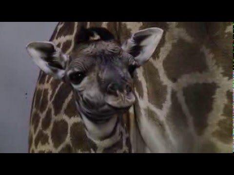 Best 25+ Giraffe tail ideas on Pinterest Giraffe images - griffe für küche