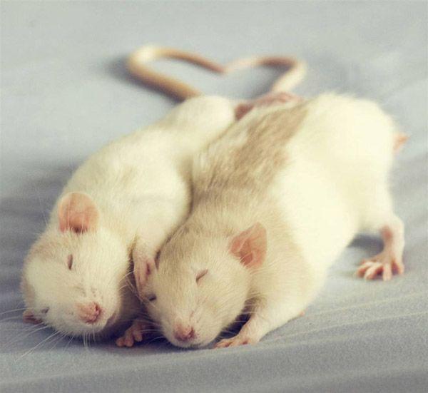 Картинка мышка целуется