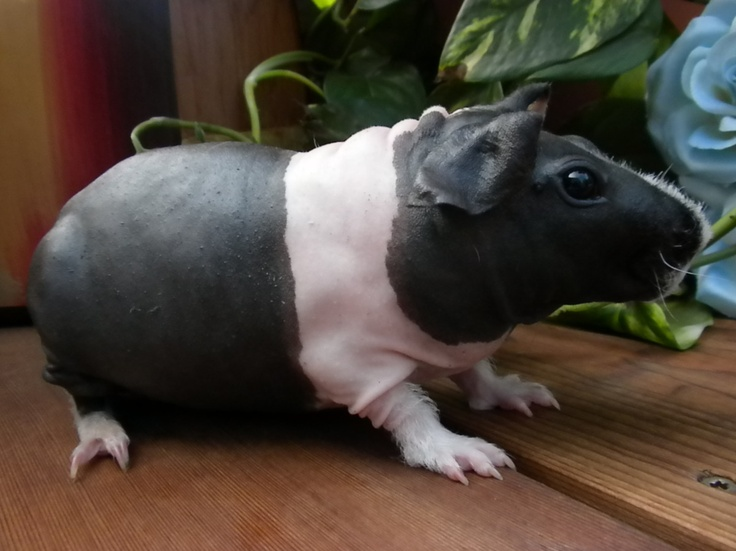 Best Skinny Pigs My New Obsession Images On Pinterest - Ludwig the bald guinea pig is winning the internets hearts