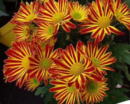 Chrysanthemum indicum x Robin Hood Red