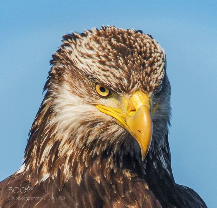 JUVENILE - This full grown Juvenile Bald Eagle has the intense focus and stare as any mature Eagle I've seen.
