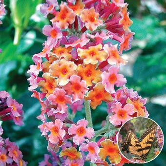 """Kaleidoscope Butterfly Bush Butterflies and hummingbirds love the fragrant, multicolored blooms of this 6-8' shrub. Masses of lavender, yellow and orange blossoms from midsummer to fall. Great for borders or arrangements. Ships in a 4"""" pot. Zones 5-9. Cannot ship to OR. Buddleia davidii 'Bicolor'."""