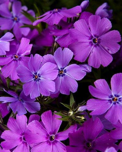 Phlox subulata 'Early Spring Purple' - De groenblijvende kruipende soorten bloeien van april tot juli uitbundig in meerdere kleuren.