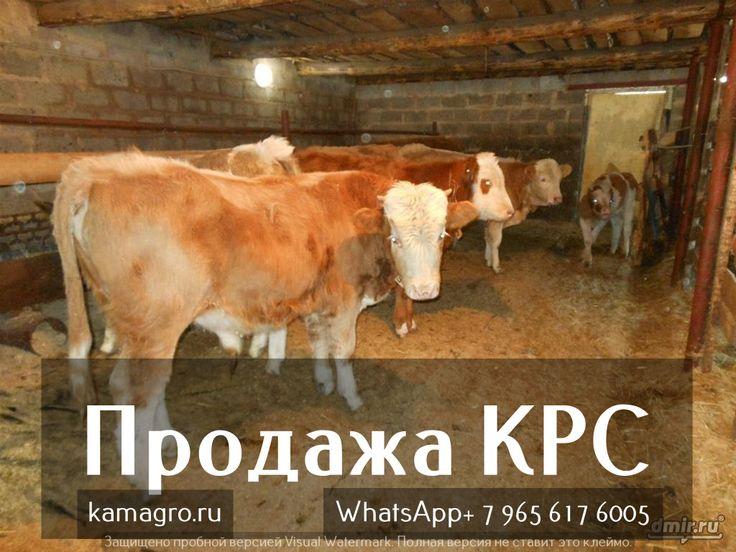 Симментал?  Минусы и Плюсы! http://kamagro.com/prodazha-krs/prodazha-myasnykh-porod-krs/porody/simmental