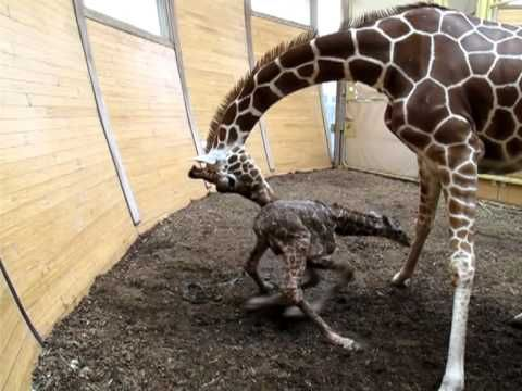 Baby Giraffe's First Day Out - Buttercup - SANTA BARBARA ZOO - YouTube