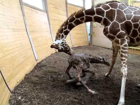 De eerste stapjes van een jonge giraf