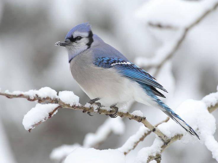 Bird: Animals, Winter, Nature, Wallpaper, Snow, Blue Jays, Beautiful Birds