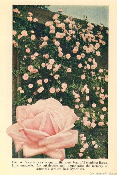 Dr. Van Fleet Rose Photo: Rose Photos, Fleet Rose