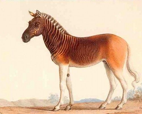 Drawing of a Quagga. Quagga They may look like some sort of a hybrid cross between a zebra and a horse, but these majestic animals were actually a unique variety of plains zebra once common in Southern Africa.   Targeted mostly because of their unique and beautiful hides, quaggas were wiped out by hunters by the 1870s. The last captive Quagga, a mare, died Aug. 12, 1883 in Amsterdam Zoo.