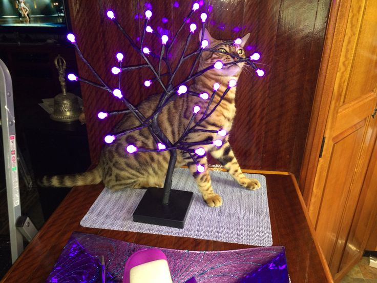 Bengal cat Zeus approves of the new cherry tree