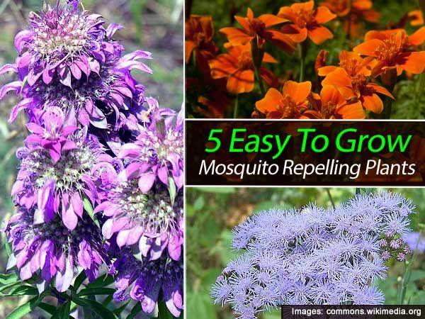 best 25 mosquito plants ideas on pinterest bug repelling plants plants that repel mosquitoes. Black Bedroom Furniture Sets. Home Design Ideas