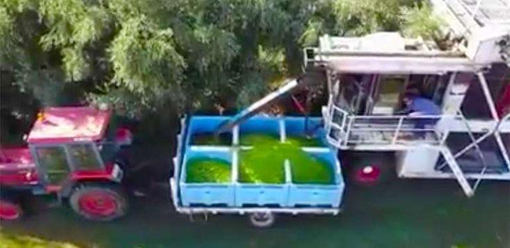 Αυστραλοί μαζεύουν ελιές με την πιο εκπληκτική πατέντα  #Viral
