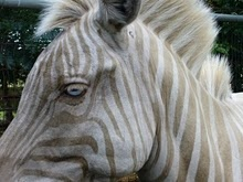 Zebra (Equus) with its own form of albinism—notice the unusual blue eye color.: Favorite Animals, Animal Pics, Equine, Eye Color, Adorable Animals, Blue Eyes