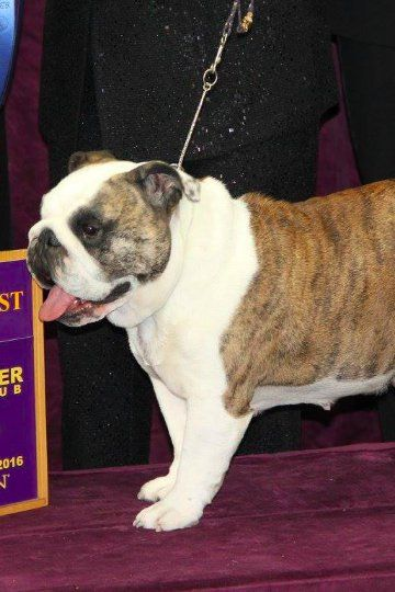 Announcing the Group Winners at the 2016 Westminster Kennel Club Dog Show