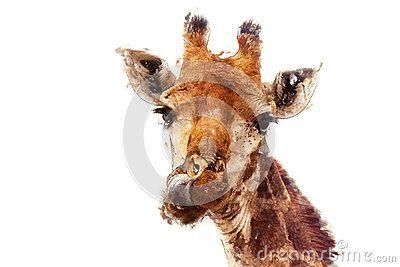 Illustration einer Giraffe Die Giraffe (Giraffa camelopardalis) ist eine Klasse von Afrikaner gleichmäßig-ausgewichenen Ungulatesäugetieren, von höchsten lebenden terrestrischen Tieren und von größten Wiederkäuern