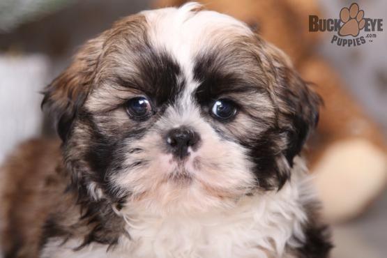 Shihtzu Charming Puppiesofpinterest Pinterestpuppies Lancasterpuppies Puppies Pups Pup Puppy Funloving Swee Shih Tzu Puppy Shih Tzu Puppies For Sale
