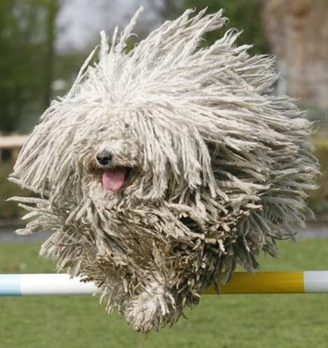 This is a Komondor, a traditional Hungarian guard dog.