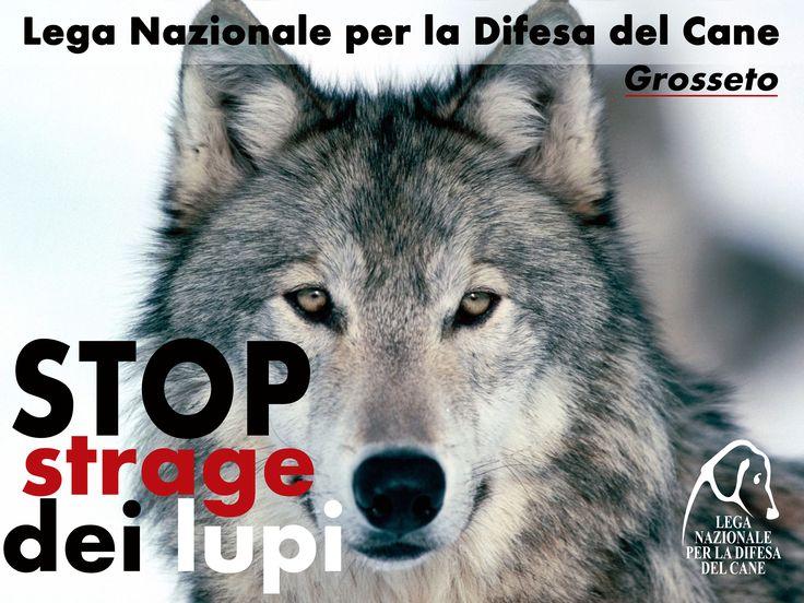 La #LegadelCane di #Grosseto in prima linea contro la #strage dei #lupi