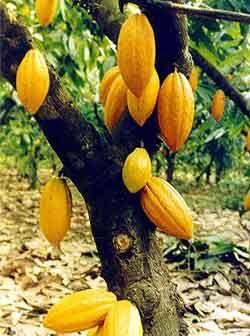 Cacau (Theobroma cacao L., Sterculiaceae) Origem – Brasil – região amazônica