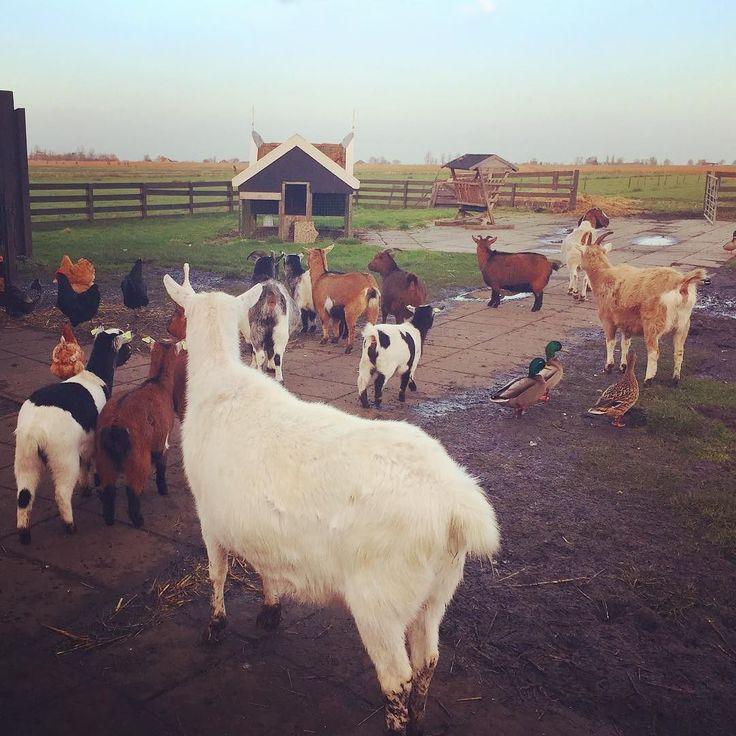 Fluffy butts.  モフケツ大集合好き . . . #zaandam #zaanseschans #netherlands #holland #trip #travel #worldtraveler #animal #animallovers #goat #donkey #fluffy