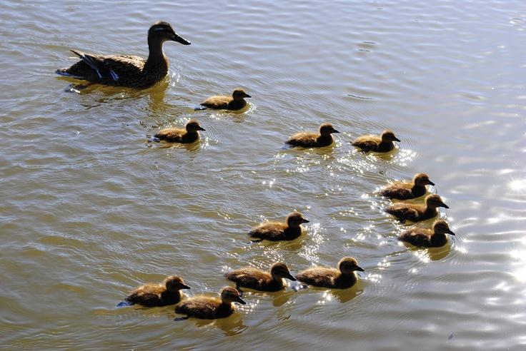So many baby duckies!!