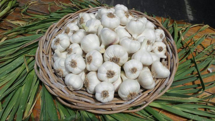 Garlic-Cesnak