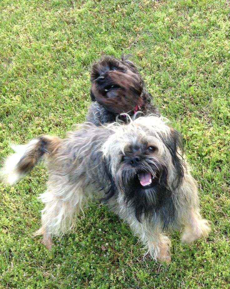 Adopted doggies are the best pets. Luci the miniature schnauzer and Jojo the pug zu are now happy laughing dogs.