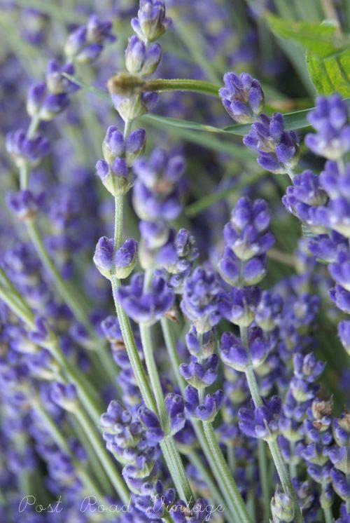 Lavendel (30 cm uit elkaar planten. Om verhoutering te voorkomen, dient deze wel twee maal per jaar gesnoeid te worden. De eerste snoei vindt plaats half maart, tot 15 cm boven de grond. Hierna groeien er snel nieuwe twijgen naar boven waar weer bloemen aan komen. De tweede keer vindt plaats na de bloei (aug-okt). Deze keer moeten alleen de bloemen verwijderd worden. De plant mag dus niet kort gesnoeid worden aangezien deze de winter dan niet zal overleven.