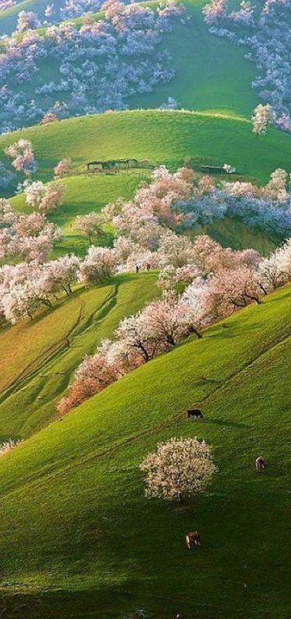 Spring apricot blossoms in Shinjang, China. £